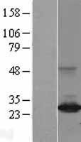 NBL1-09891 - ARHI Lysate