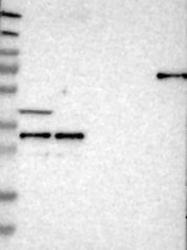 NBP1-89358 - ARID1B