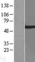 NBL1-07686 - ARIH2 Lysate