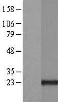 NBL1-07687 - ARL1 Lysate