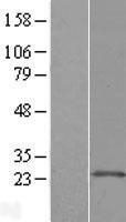 NBL1-07688 - ARL11 Lysate