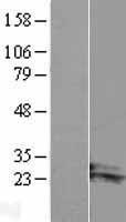 NBL1-07690 - ARL14 Lysate
