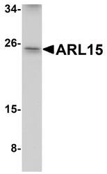 NBP1-77052 - ARL15 / ARFRP2