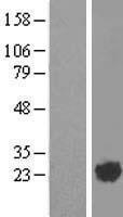 NBL1-07692 - ARL2 Lysate