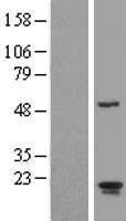 NBL1-07693 - ARL2BP Lysate