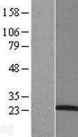 NBL1-07697 - ARL5A Lysate