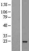 NBL1-07698 - ARL5B Lysate
