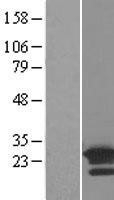 NBL1-07704 - ARL8B Lysate