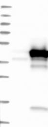 NBP1-88847 - ARMC1 / ARCP