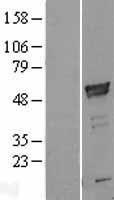 NBL1-07707 - ARMC6 Lysate