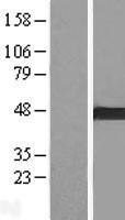 NBL1-07710 - ARMC8 Lysate