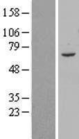 NBL1-07711 - ARMC8 Lysate