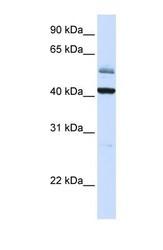 NBP1-59412 - ARMCX1 / ALEX1