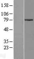 NBL1-07714 - ARMCX2 Lysate