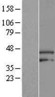 NBL1-07716 - ARMCX3 Lysate