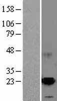 NBL1-07719 - ARMET Lysate