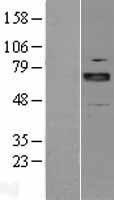 NBL1-07721 - ARNT2 Lysate