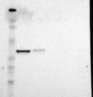 NBP1-88851 - ARPC1A / SOP2L