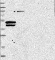 NBP1-90910 - ARPM1