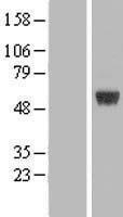 NBL1-07734 - ARRDC1 Lysate
