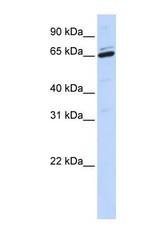 NBP1-59370 - Arylsulfatase H