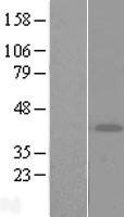 NBL1-07743 - ART4 Lysate