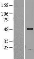 NBL1-07747 - ASAH1 Lysate