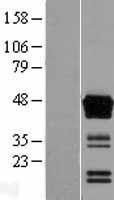 NBL1-07749 - ASAM Lysate