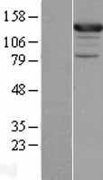 NBL1-09767 - ASAP1 Lysate