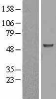 NBL1-07750 - ASB3 Lysate