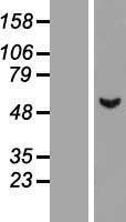 NBL1-07751 - ASB3 Lysate