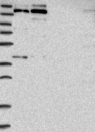 NBP1-90086 - ASCC3L1