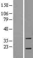 NBL1-07760 - ASF1a Lysate