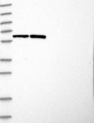 NBP1-87444 - ASNSD1