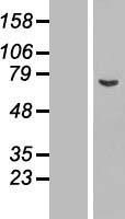 NBL1-07771 - ASNSD1 Lysate