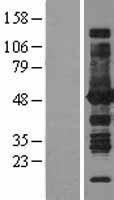 NBL1-07778 - ASS1 Lysate
