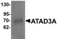 NBP1-76586 - ATAD3A