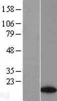 NBL1-07784 - ATAD4 Lysate