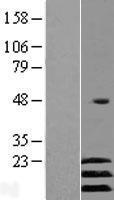 NBL1-07789 - ATF3 Lysate