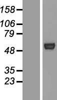 NBL1-07798 - ATG4C Lysate