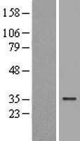 NBL1-07799 - ATG5 Lysate