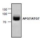 NBP1-45352 - APG7L / ATG7