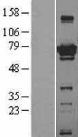 NBL1-07800 - ATG7 Lysate