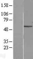 NBL1-14554 - Adipose Triglyceride Lipase Lysate
