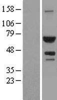 NBL1-07801 - ATIC Lysate