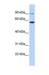 NBP1-59034 - Atlastin-3