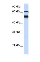 NBP1-59035 - Atlastin-3