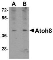 NBP1-77347 - ATOH8