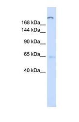 NBP1-59982 - ATP10D