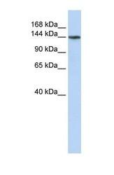 NBP1-59962 - ATP11B
